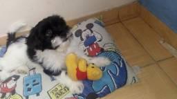 Vende Se Filhote Lhasa apso 4 meses