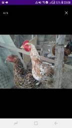 Vendo galinha e galo