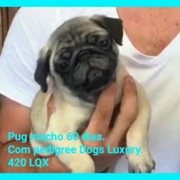 Pug filhote pronta entrega Aceito LQX