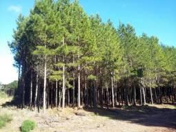 Fazenda de pinus em Cambará do Sul -RS