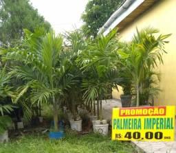 Palmeira imperial mini
