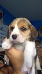 Beagle machino venha conferir nossas variedades