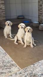 Belos Filhotes De Labrador