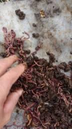 Título do anúncio: Minhocas vermelhas da Califórnia