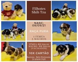 Título do anúncio: Filhote Shih Tzu Raça Pura - Shitzu