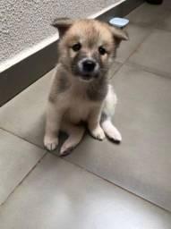 Título do anúncio: Akita Filhotes lindos - Da Madre Pet Shop!