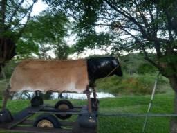 Vaca para tiro de laço mecânico