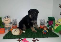 Título do anúncio: Pastor alemão Filhotes lindos - Da Madre Pet Shop!
