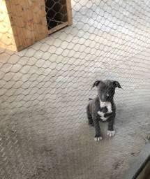 Vendo filhote de pitbull vacinado e vermifugado
