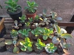 Plantas ornamentais suculentas