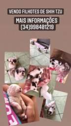 Título do anúncio: Vendo lindos filhotes de Shi tzu