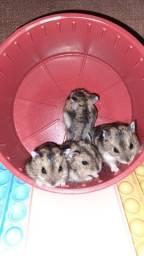 Título do anúncio: Hamster anão russo - fofos