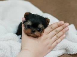 Título do anúncio: Os mais lindos e charmosos filhotinhos de yorkshire mine