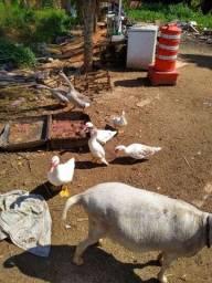 Vendo patos machos e fêmeas