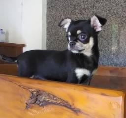 Título do anúncio: Lindo filhote de Chiuaua macho