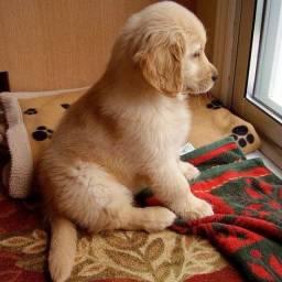 Título do anúncio: Golden cão