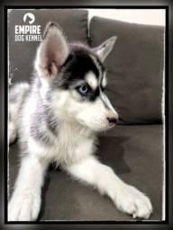 Título do anúncio: Lindos filhotes de Husky Siberiano