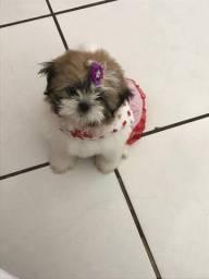Vendo cadela SHIH TZU 02 meses