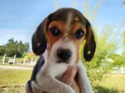 Beagle fêmea disponível! Prontas para entrega!