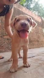 Cachorro Pitbbul com labrador