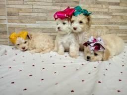 Poodle filhotes