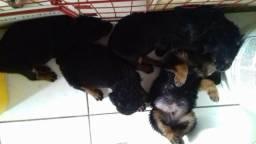 Rottweiler Filhotes Puros (Promoção)