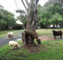 Ovelha e carneiro reprodutor black texel
