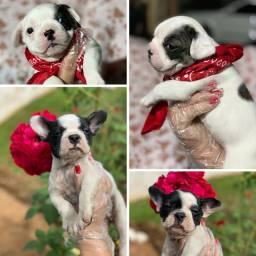 Bulldog frances com pedigree microchip ate 18x