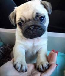 Pug com pedigree cbkc em 10x sem juros