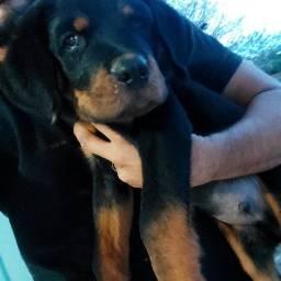 Título do anúncio: Rottweiler - macho disponível