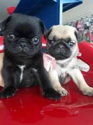 Pug Black é Abricot