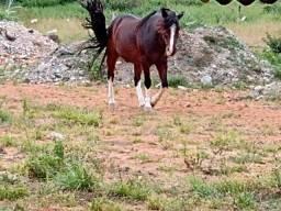 Título do anúncio: vende-se Cavalo crioulo