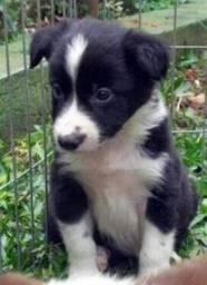 Título do anúncio: Border collie Filhotes lindos - Da Madre Pet Shop!
