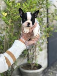 Título do anúncio: Filhotes de Bulldog Francês a Pronta Entrega