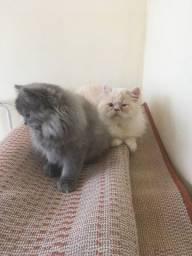 Gato persa fêmea e macho
