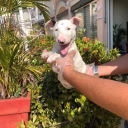 Título do anúncio: Filhotes de Bull Terrier a Pronta Entrega