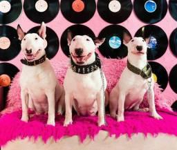 Título do anúncio: Belíssimos filhotes de Bull Terrier