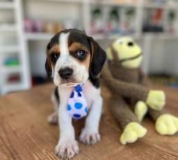 Título do anúncio: Beagle macho filhote