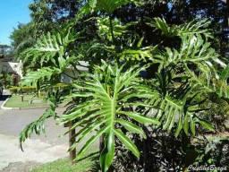 Folhas de Guaimbê - Compro