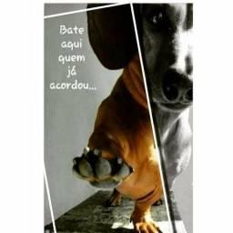Compro filhote fêmea dachshund