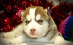 Filhotes de husky siberiano do canil ps