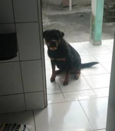 Rottweiler P Namorado