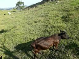 Mini vaca para troca ou venda