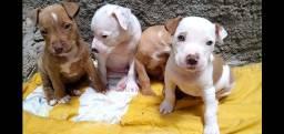 Lindos filhotes de Pitbull disponíveis!