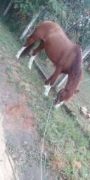Cavalo bagual