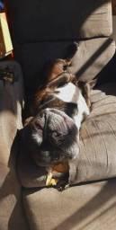 Macho de bulldog francês para cruzar