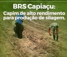 Mudas de BRS Capiaçu