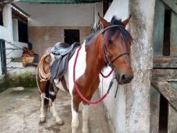 Título do anúncio: Cavalo Excelente de marcha picada, média de 8 anos, saudável, pode registrar no Pampa.