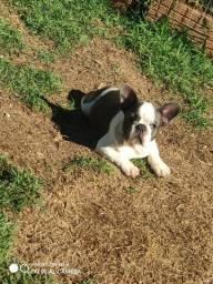 Bulldog francês BLUE pied