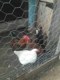 Troco aves por 2 frangos pretos